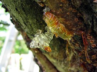 «Вечнозеленая» пластмасса из смолы хвойных деревьев